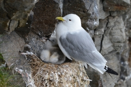 Mouette trydactyle. Photos: P.-A. Ravussin