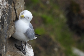 Mouette tridactyle. Photo: V. Mettraux
