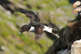 Pingouin torda. Photo: L. Longchamp