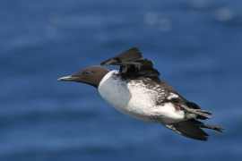 Guillemot de troïl en vol. Photo: L. Longchamp
