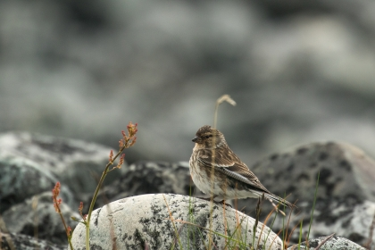 Linotte à bec jaune cherchant des graines dans la végétation rase de la toundra. Photo: A. Lavorel