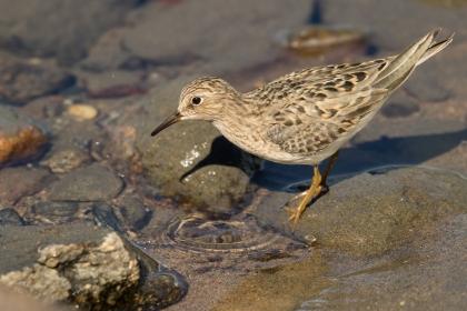 Bécasseau de temminck cherchant sa nourriture sur le bord de'une grande rivière Photo: A. Lavorel