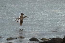 chevalier gambette en vol au dessus de la mer. Photo: A. Lavorel