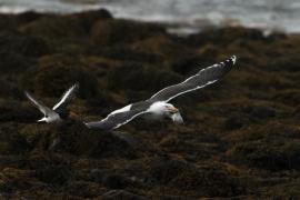 Goéland marin s'emparant d'un jeune huîtrier pie, houspillé par les parents démuni. Photo: A. Lavorel