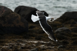 Goéland marin s'emparant d'un jeune huîtrier pie, houspillé par les parents démunis. Photo: A. Lavorel