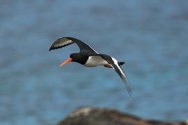 Huîtrier pie en vol surveillant les prédateur et leur nid. Photo: A. Lavorel