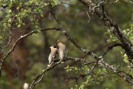 Jaseur boréal sur une branche dans le taïga, offrande du mâle pour la femelle. Photo: A. Lavorel
