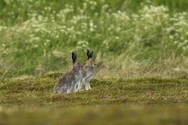 lièvre variable sur une petite île, courant sans crainte des visiteur. Photo: A. Lavorel