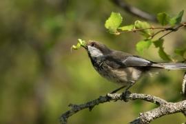 Mésange lapone afféré a chercher de la nourriture pour ses jeunes, cherchant des chenille dans les bouleaux. Photo: A. Lavorel