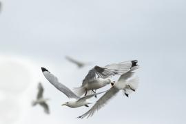 Mouette tridactyle passant aux abords des falaisex, se posant pour nourrir leur jeune et repartant en mer. Photo: A. Lavorel