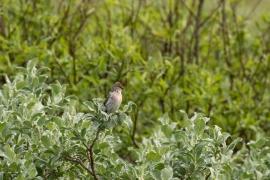 Sizerin blanchâtre sur le haut d'un buisson. Photo: A. Lavorel
