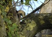 Adulte à l'entrée du nid